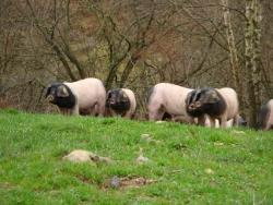 バスク豚画像