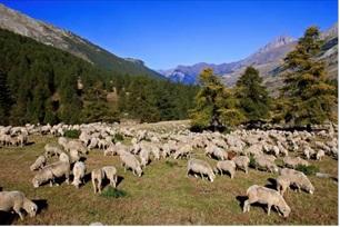 仔羊アニョー・ド・システロン(フランス産)入荷のご案内